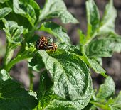 stock photo of potato bug  - coitus of two Colorado beetles on potato bush - JPG