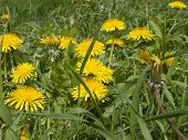 pic of may-flower  - meadow in May full flowering yellow dandelions as a background - JPG