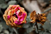 picture of dead plant  - Two Wilted Flower dry and dead for background - JPG