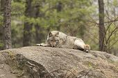 stock photo of coy  - A lone Coyote in a forest environment  - JPG