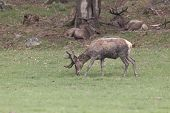 image of jousting  - A lone male deer feeding in a field - JPG