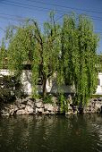 foto of weeping willow tree  - A weeping willow tree on the edge of water in a traditional Chinese garden inside Yuyuan Garden in Shanghai China on sunny day - JPG