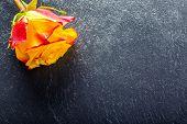 image of yellow rose  - Rose - JPG