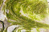 picture of algae  - Closeup texture of algae on the rock - JPG