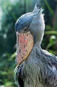 stock photo of stork  - The shoebill also known as whalehead or shoe-billed stork