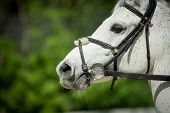 foto of arabian horse  - arabian racing horse head closeup on green leaves background - JPG