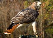 foto of tail  - A female Red Tailed Hawk looking over her wing - JPG