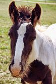 foto of gypsy  - A Gypsy Vanner foal portrait out in a field - JPG