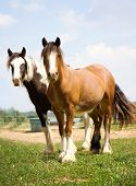 stock photo of gypsy  - A pair of young Gypsy Vanner horses both looking at the camera at the same time - JPG