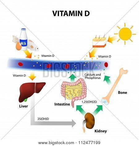 Schematic Diagram Of Vitamin D Metabolism Image Id112477199