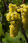 picture of rebs  - Grapes on a vine in the fall. wine garden ** Note: Slight blurriness, best at smaller sizes - JPG