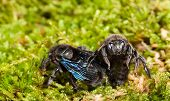 Постер, плакат: Two Violet Carpenter Bee Sitting In Moss