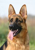 stock photo of german shepherd  - purebred german shepherd happy - JPG