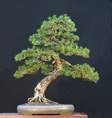 picture of bonsai tree  - mugo pine pinus mugo collected in switerland styled by walter pall 80 cm high around 200 years old - JPG