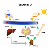 Schematic Diagram Of Vitamin D Metabolism poster