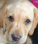picture of sad dog  - closeup of yellow lab puppy looking sad - JPG