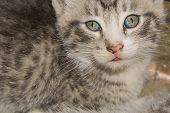 Striped Tabby Kitten Portrait poster