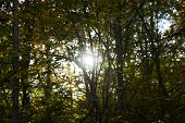 Autumn Forest Of Yellow Trees Illuminated By Sunbeams poster