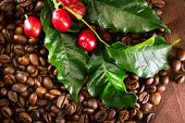 Постер, плакат: Coffee background Real coffee Plant on roasted coffee Border art design with Red beans on a branch