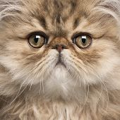 Close-up of Persian kitten, 3 months old poster