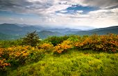 stock photo of azalea  - Flame Azalea Blooms Blue Ridge Mountains Roan Highlands State Park on Appalachian Trail - JPG