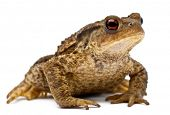 Common toad or European toad, Bufo bufo, in front of white background poster