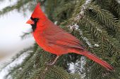 stock photo of cardinal  - Male Northern Cardinal  - JPG