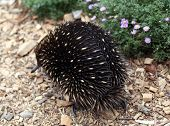 pic of ant-eater  - australian echidna in the bush looking for food - JPG