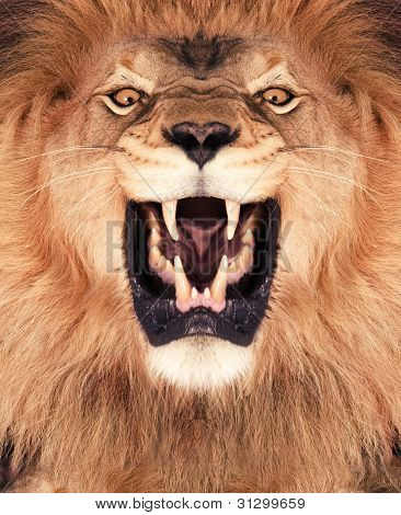 Picture or Photo of Direct frontal shot of a Lion roaring.