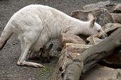 The Albino Kangaroo And A Brown Joey Are Boyh Eating Grass poster