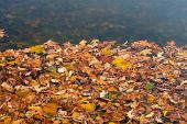 Autumn Orange Leaves In Water. Fallen Bright Leaves On The Water Surface. Top View. poster