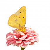 Orange Sulphur, Colias eurytheme butterfly feeding on pink Zinnia on white background