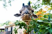 Cute Giraffe Making Sceptical Faces While Chewing Food. The Concept Of Animals In The Zoo. Pattaya Z poster