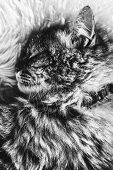 Black And White Picture Of Sleeping Tabby Cat On White Fluffy Blanket. Black Cat Collar Around Neck. poster