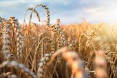 Wheat Ears In Bright Sunlight On Agriculture Field. Harvesting Season. Wheat Spikes On Sunny Evening poster