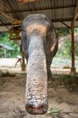 Asian elephant in elephant camp in Thailand. Elephant trunk close-up poster