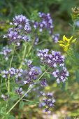 Oregano Flowers And Grass In The Garden poster