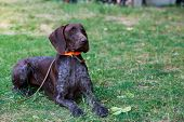 Dog Breed German Shorthair Pointer Close Up poster
