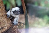Curious Baby Cotton-headed Tamarin On The Tree Trunk. Saguinus Oedipus. poster