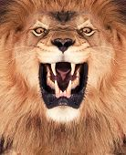 stock photo of gold tooth  - Direct frontal shot of a Lion roaring - JPG