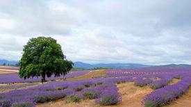 foto of lavender field  - spring - JPG
