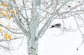 stock photo of ring-dove  - Collard dove roosting in an Aspen tree during a cold snowy morning - JPG
