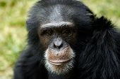 Animal Chimp Ape poster