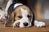 stock photo of puppy beagle  - Sleepy beagle puppy lying on the table - JPG