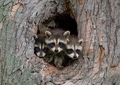 stock photo of bandit  - Photograph of three young raccoons scrambling over each other to peer out a hole in a large tree in the midwest - JPG