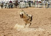 picture of brahma-bull  - bucking action after the rider had been thrown during the bull rinding competition at a rodeo - JPG