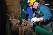 foto of tuberculosis  - technician testing red deer Cervus elephus for tuberculosis - JPG
