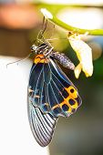 foto of chrysalis  - New born male great mormon butterfly hanging near pupa - JPG
