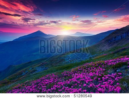 Magic pink rhododendron flowers on summer mountain. Dramatic overcast sky. Carpathian, Ukraine, Euro