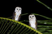 stock photo of jungle birds  - Barn Owl Tyto alba bird at thailand - JPG